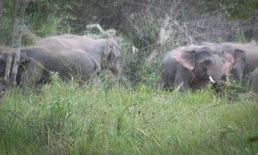 ลุงป้าเกือบไม่รอด ช้างป่าบุกเข้าไร่ประชิด นึกว่าไม่ดุ เตะใส่ลุงกระเด็น