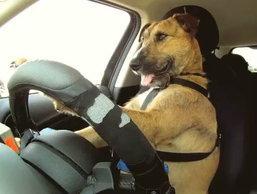 สุดยอดของความเทพ เมื่อสุนัขขับรถ