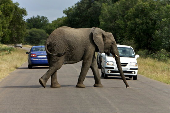 """""""หมอล็อต"""" แนะข้อปฏิบัติ เมื่อเจอช้างป่าบนถนน ย้ำ! ห้ามดับเครื่อง"""