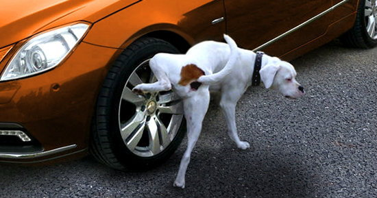 รวมวิธีแก้ปัญหา สุนัขฉี่ใส่ล้อรถ