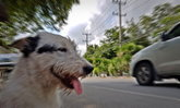 สุนัขตัดหน้า 'ห้ามเหยียบเบรก' จริงหรือ?