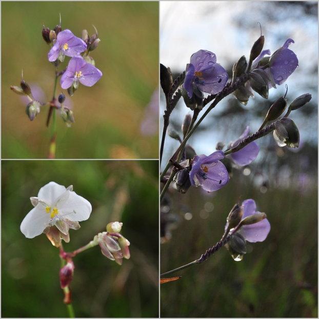 Flower_Phusoidown_4