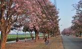 """หวานแหววบนถนนสายสีชมพู """"ชมพูพันธุ์ทิพย์"""" เกษตรศาสตร์ กำแพงแสน"""