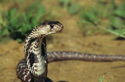 งูเต้นตามจังหวะเพลงจริงหรือไม่