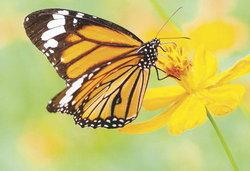 คำนี้ท่านได้แต่ใดมา : Butterfly