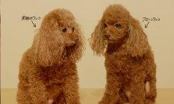 """""""Clone Wanko"""" ตุ๊กตาโคลนนิ่งสุนัขแสนรักของคุณ ในราคาเริ่มต้นที่ 3 ล้านเยน"""