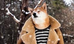 """สุนัขผู้นำแฟชั่น เจ้าตูบ """"Bodhi"""" สุนัขพันธุ์ชิบะ สุดน่ารัก ที่โด่งดังในโลกโซเชียล"""