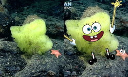 เจอตัวแล้ว! นักวิทย์ทางทะเล ค้นพบ สปอนจ์บ็อบ และ แพทริค ตัวจริง ใต้มหาสมุทร