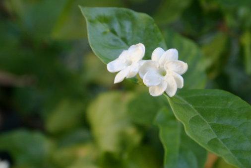 ดอกมะลิ สัญลักษณ์ของวันแม่ สื่อแทนความกตัญญู