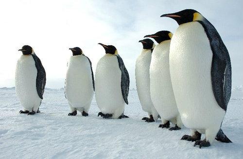 """นักวิจัยไขปริศนา""""ทำไมเพนกวินจึงบินไม่ได้?""""สำเร็จแล้ว"""