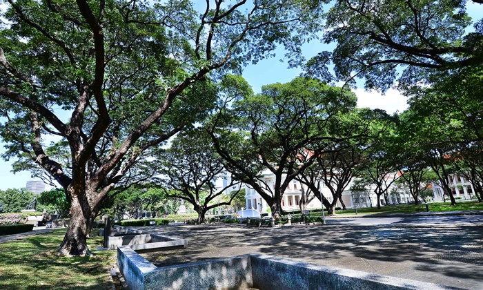 จามจุรีศรีจุฬาฯ ต้นไม้สัญลักษณ์ที่แสดงออกถึงความเป็นจุฬาลงกรณ์มหาวิทยาลัย