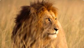 สิงโตเจ้าป่า เข้ม ดุดัน ใครก็เกรงใจ