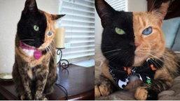 ฮือฮา หาดูได้ยาก เจ้าแมวมีใบหน้า 2 สี แสกกลางหน้า ธรรมชาติสร้างมาล้วนๆ