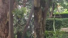 คลิประทึก งูเขียวปะทะตุ๊กแก บนต้นไม้ต้นหนึ่ง เสียงคนดูลุ้นอย่างหวาดเสียว