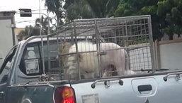 แกเราเจอสิงโต สาวแทบช็อก เจอแบบนี้กลางถนน หันมาฮาแทบไม่ทัน
