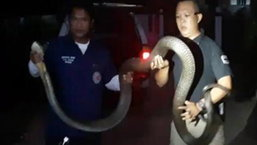 คลิปหมองูสุราษฎร์ฯจับงูจงอางยาวกว่า 4 เมตร อยู่หมัด