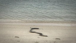 """มันเลื้อยมาจากทะเล นาทีขนลุก """"งูจงอาง"""" แอบว่ายน้ำขึ้นชายหาด"""