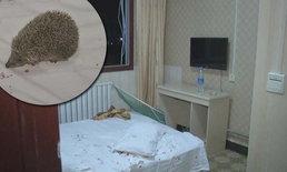 เปิดโรงแรมนอนเจอเฮดจ์ฮอกอยู่ในหมอน ขนทิ่มก้นสาว