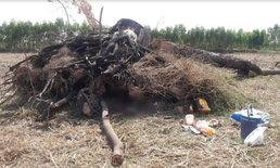 มุดหลบแดดใต้รากไม้ เด้งดีดกลับทับร่างหนุ่มตายไม่ทันตั้งตัว