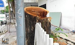 ผู้ร้องให้ตัดต้นจามจุรีใหญ่ขอโทษสังคม หวังเข้าใจ รากไม้อยู่จุดอันตราย