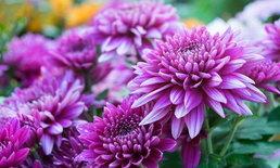 ดอกไม้ กับฮวงจุ้ย ดอกไม้ชนิดไหนส่งเสริมเรื่องอะไร
