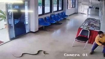 งูดุเลื้อยขึ้นฉกถึงโรงพัก ทึ่ง หนุ่มจับเหยียบหัวจับมือเปล่า ตร.โบกมือไล่พัลวัน