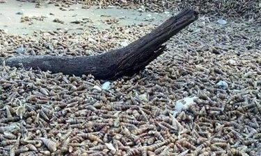 """หอยเจดีย์เกยเต็มหาดระนอง 12 ตัน ผู้เชี่ยวชาญย้ำชัด """"ไม่เกี่ยวสึนามิ"""""""