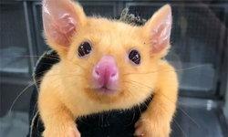 มีความเหมือน! หนู Possum กลายพันธุ์ ถูกตั้งชื่อว่า Pikachu