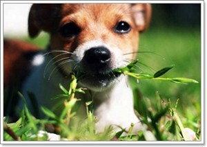 สุนัขกินหญ้าเพราะอะไร