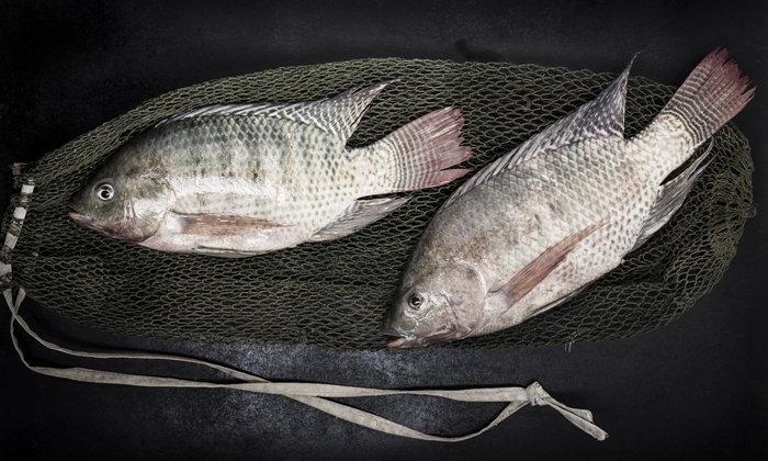 """ประโยชน์ของ """"ปลานิล"""" จากปลาทรงเลี้ยง สู่สุขภาพที่ดีของคนไทย"""