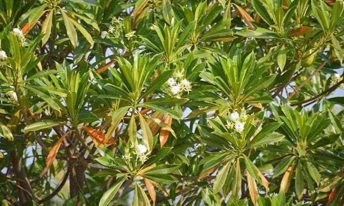 ต้นตีนเป็ดน้ำ ต้นตีนเป็ดทะเล มีพิษร้ายอย่างไร?