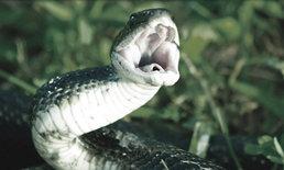 """ปฐมพยาบาลเบื้องต้น เมื่อถูก """"งูกัด"""""""