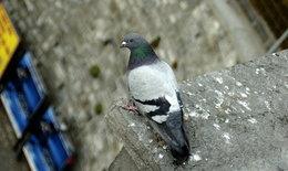"""โรคอันตรายถึงชีวิตที่มากับ """"นกพิราบ"""""""