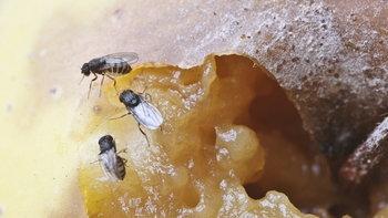 """โรคอันตรายจาก """"แมลงหวี่"""" หากปล่อยให้บินตอมตา-อาหาร"""