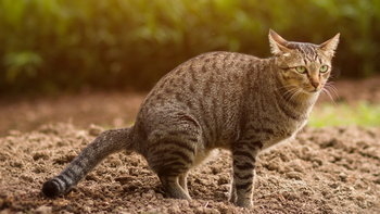 """""""ขี้แมวขึ้นสมอง"""" โรคร้ายที่ทาสแมวควรระวัง"""