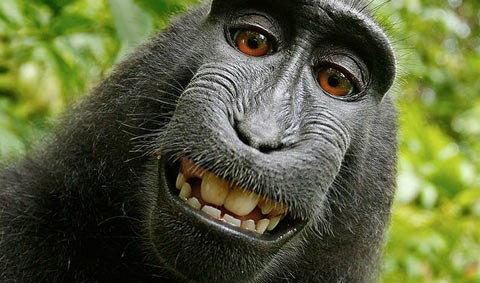 วุ่น! ใครเป็นเจ้าของลิขสิทธิ์รูปเซลฟี่ลิงกังดำ ?