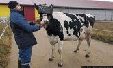 เกษตรกรโคนมรัสเซียให้วัวใส่แว่นตา VR ช่วยเพิ่มคุณภาพน้ำนม