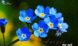 Forget Me Not ดอกไม้สัญลักษณ์แห่งความรัก