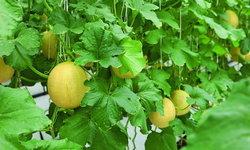 Melon vs Cantaloupe เมลอนvsแคนตาลูป