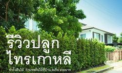 """รีวิว """"ปลูกไทรเกาหลี ทำรั้วต้นไม้"""" สร้างพื้นที่ส่วนตัว พร้อมกับความร่มรื่นจากต้นไม้สีเขียวขจี"""