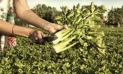 """วิธีปลูก """"ขึ้นฉ่ายฝรั่ง"""" หรือ Celery ไว้ทานเอง ปลูกไม่ยาก ช่วยประหยัดเงิน"""