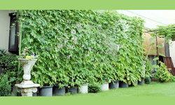 ม่านสีเขียวจากไม้เลื้อย คุณค่าที่ช่วยลดการใช้พลังงาน และพฤกษาบำบัด