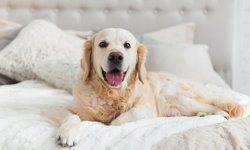 วิธีป้องกันไม่ให้สุนัขขึ้นมานอนบนเตียงร่วมกับเจ้าของ