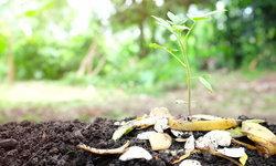 วิธีใช้เปลือกกล้วยกับงานสวน ประโยชน์เพียบ ทานกล้วยอย่าทิ้งเปลือก