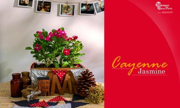 แต่งสวนให้สวยด้วยแพงพวย Cayenne jasmine