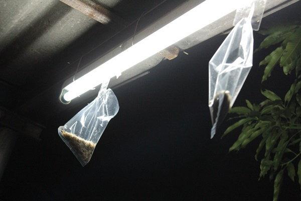 วิธีกำจัดแมงเม่า (ปลวกบินได้) ที่ได้ผลใน 5-10นาที ไม่มีอันตราย ใช้เพียงถุง + เทปกาว