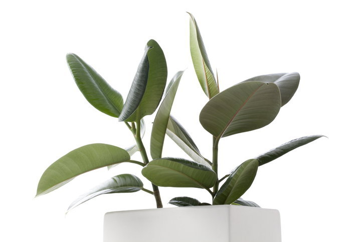 ต้น Rubber Plant