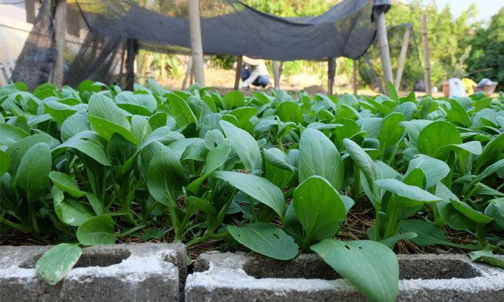"""แชร์ประสบการณ์ """"ปลูกผักกวางตุ้งฮ่องเต้"""" วิถีประหยัด ปลอดสารพิษ กินกันได้ทั้งบ้าน"""