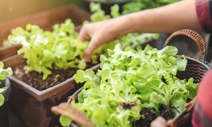 วิธีการปลูกผักสลัดแบบง่าย ๆ ในบ้านคุณ