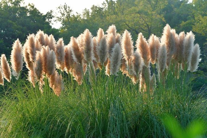 หญ้าแพมพัส